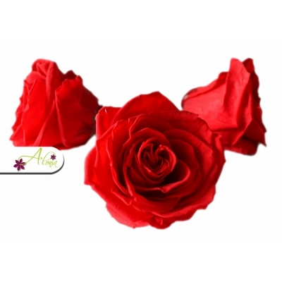 Stabilizovaný kvet ruže XL