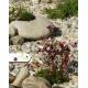 Realizácia záhrady - Saxifraga