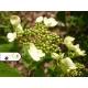 Realizácia záhrady - Viburnum plicatum 'Mariesii'