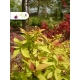 Realizácia záhrady -  Spiraea japonica 'Walbuma'