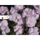 Realizácia záhrady - Dianthus caryophyllus