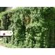 Realizácia záhrady - Parthenocissus quinquefolia