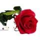 Červená ruža, ktorá vydrží 730 dní