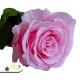 Ružová ruža, ktorá vydrží 730 dní