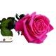 Tmavo ružová ruža, ktorá vydrží 730 dní