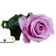 Fialovo ružová ruža, ktorá vydrží 730 dní