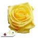 Stabilizovaná ruža - žltá