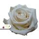 Stabilizované kvety - smotanová ruža