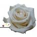 Stabilizovaná ruža - smotanová