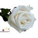 Smotanová ruža, ktorá vydrží 730 dní