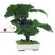 Stabilizovaná rastlina Juniperus Bonsai 25 cm