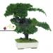Stabilizovaná rastlina Juniperus Bonsai 50 cm
