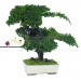 Stabilizovaná rastlina Pitosporum Bonsai 25 cm