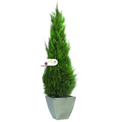 Stabilizovaná rastlina Stardust 140-160 cm