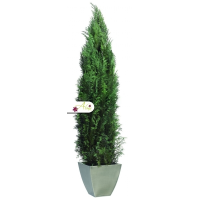 Stabilizovaná rastlina Columnaris 140 - 160 cm