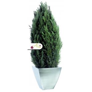 Stabilizovaná rastlina Ellwoodii 60 - 80 cm