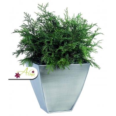 Stabilizovaná rastlina Globulosa 80 - 100 cm