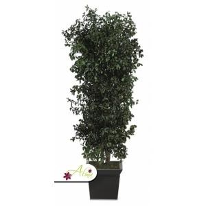 Stabilizovaná rastlina Pittosporum 130 cm