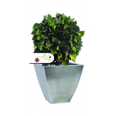 Stabilizovaná rastlina Hedera 40 cm
