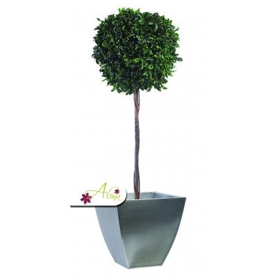 Stabilizovaná rastlina Pittosporum 100 cm