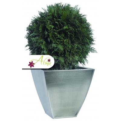 Stabilizovaná rastlina Thuja 40 cm