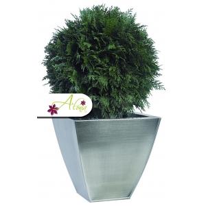 Stabilizovaná rastlina Thuja 50 cm