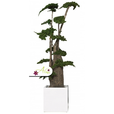 Stabilizovaná rastlina Juniperus Bonsai 160 cm