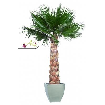 Stabilizovaná rastlina Washingtonia 140 cm