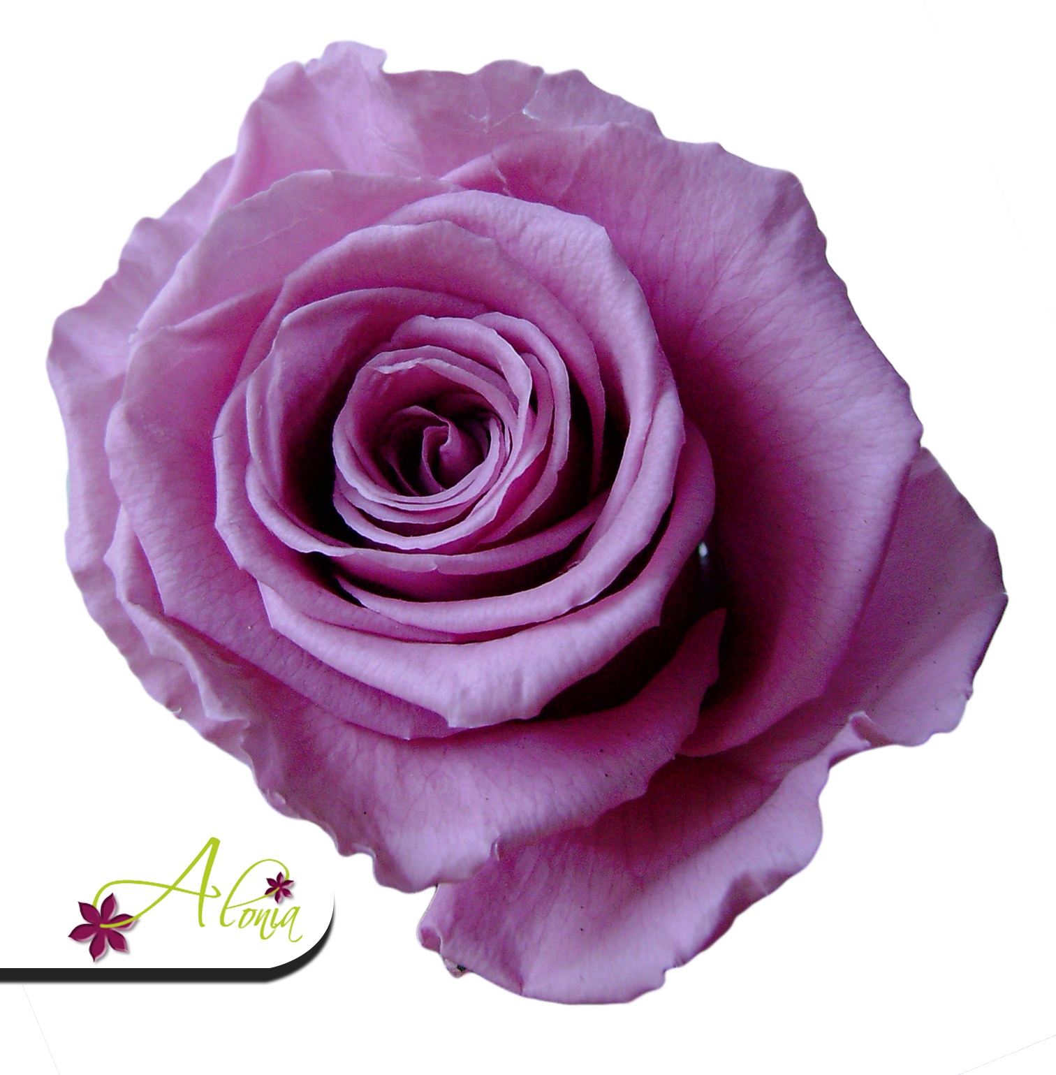 Stabilizované kvety - fialovo ružová ruža