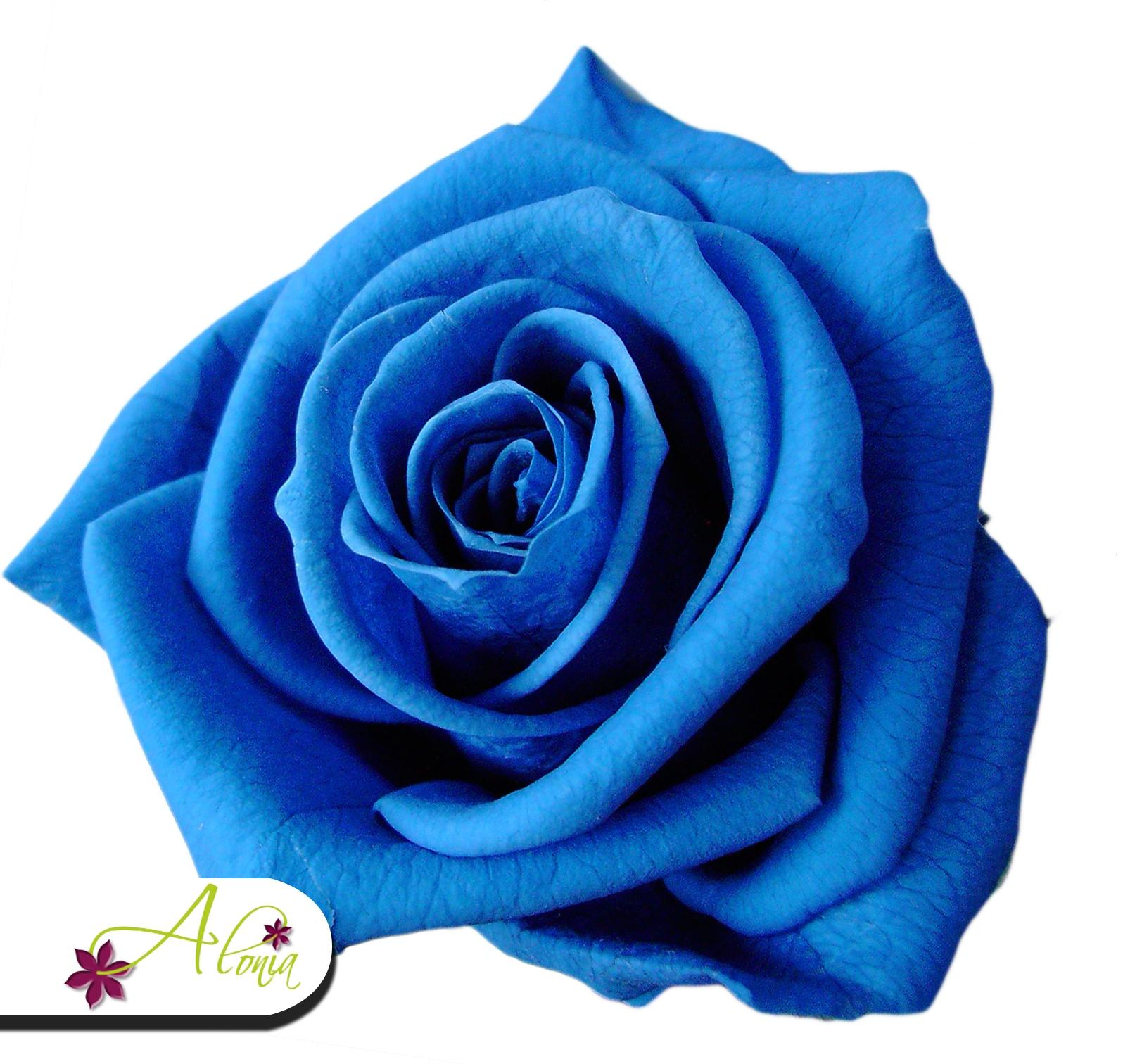 Stabilizované kvety - modrá ruža
