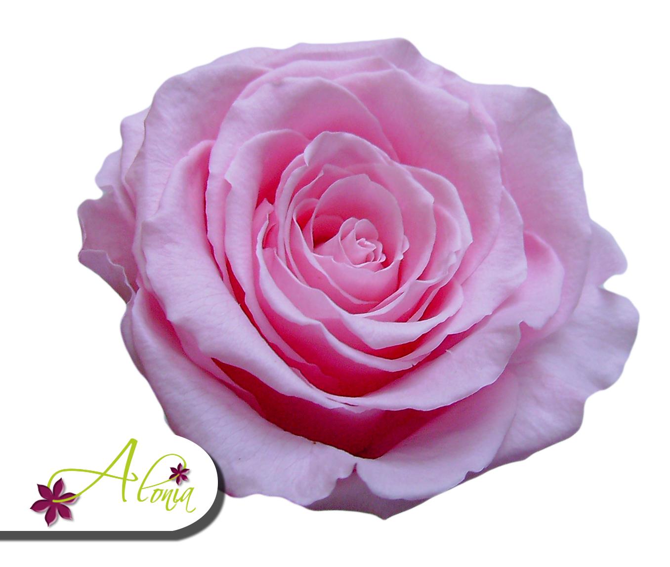 Stabilizovaný kvet - ružová ruža