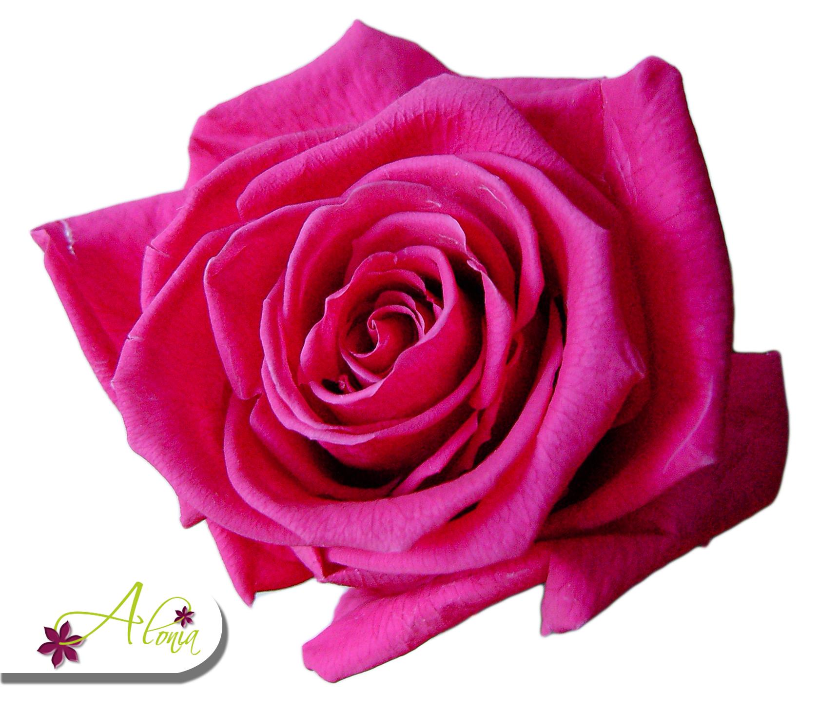 Stabilizované kvety - tmavoružová ruža